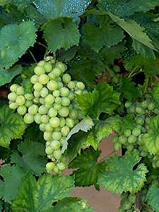 Armagnac grapes